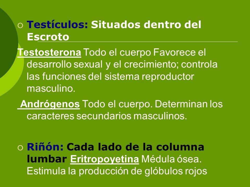 Testículos: Situados dentro del Escroto Testosterona Todo el cuerpo Favorece el desarrollo sexual y el crecimiento; controla las funciones del sistema