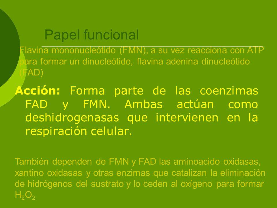 Papel funcional Acción: Forma parte de las coenzimas FAD y FMN. Ambas actúan como deshidrogenasas que intervienen en la respiración celular. Flavina m