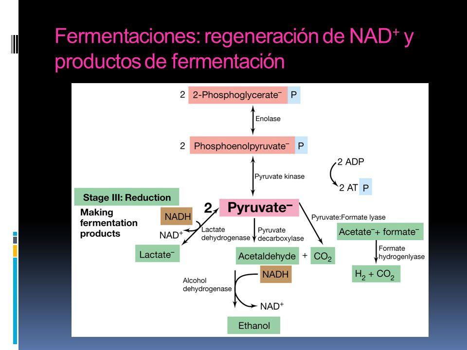 Fermentaciones: regeneración de NAD + y productos de fermentación