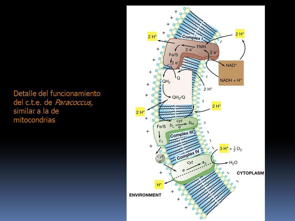 Detalle del funcionamiento del c.t.e. de Paracoccus, similar a la de mitocondrias