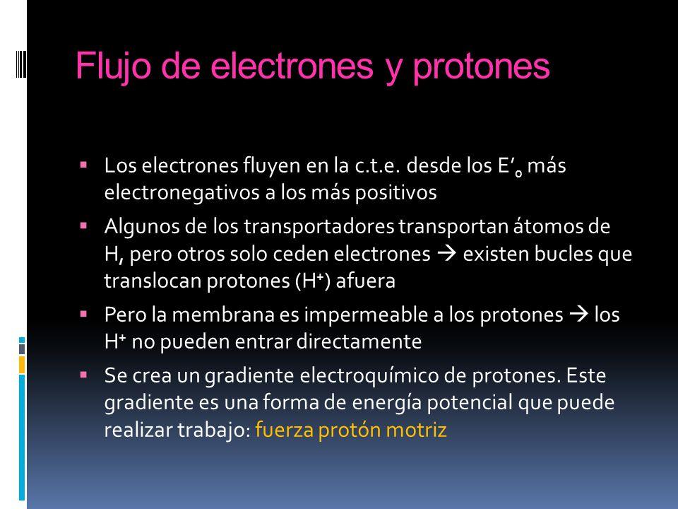 Los electrones fluyen en la c.t.e. desde los E 0 más electronegativos a los más positivos Algunos de los transportadores transportan átomos de H, pero