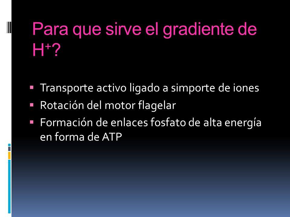 Para que sirve el gradiente de H + ? Transporte activo ligado a simporte de iones Rotación del motor flagelar Formación de enlaces fosfato de alta ene