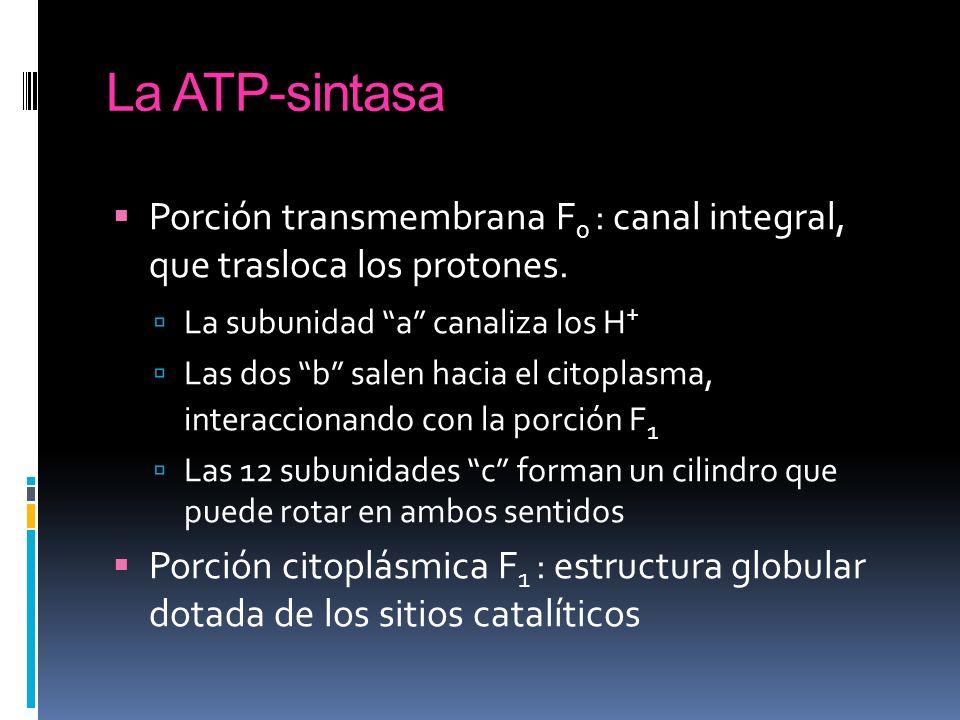 La ATP-sintasa Porción transmembrana F 0 : canal integral, que trasloca los protones. La subunidad a canaliza los H + Las dos b salen hacia el citopla