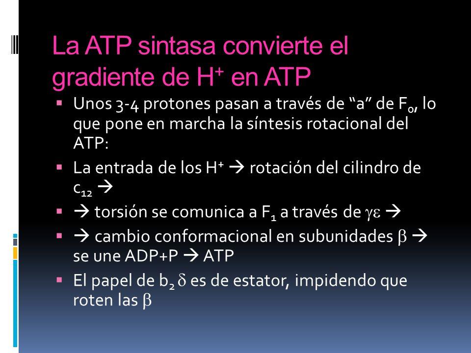 La ATP sintasa convierte el gradiente de H + en ATP Unos 3-4 protones pasan a través de a de F 0, lo que pone en marcha la síntesis rotacional del ATP