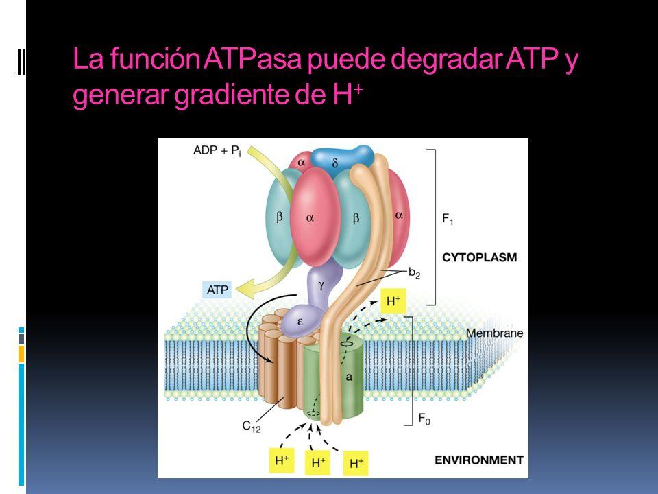 La función ATPasa puede degradar ATP y generar gradiente de H +