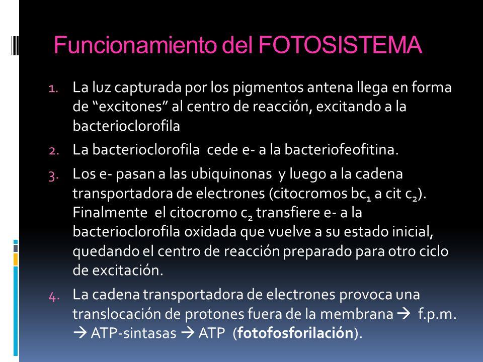 Funcionamiento del FOTOSISTEMA 1. La luz capturada por los pigmentos antena llega en forma de excitones al centro de reacción, excitando a la bacterio