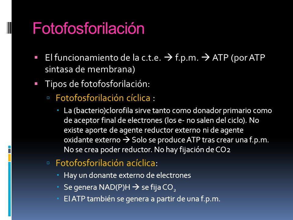 Fotofosforilación El funcionamiento de la c.t.e. f.p.m. ATP (por ATP sintasa de membrana) Tipos de fotofosforilación: Fotofosforilación cíclica : La (