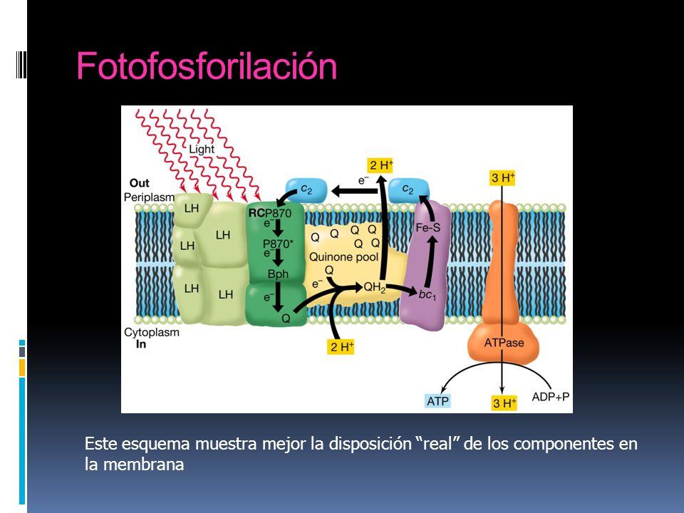 Fotofosforilación Este esquema muestra mejor la disposición real de los componentes en la membrana
