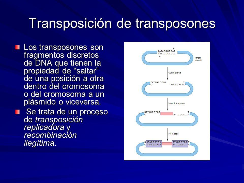 Transposición de transposones Los transposones son fragmentos discretos de DNA que tienen la propiedad de saltar de una posición a otra dentro del cro