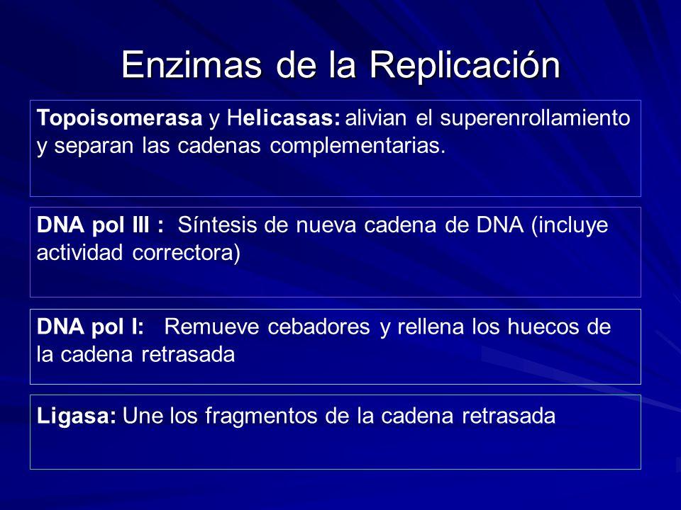 Enzimas de la Replicación DNA pol III : Síntesis de nueva cadena de DNA (incluye actividad correctora) DNA pol I: Remueve cebadores y rellena los huec