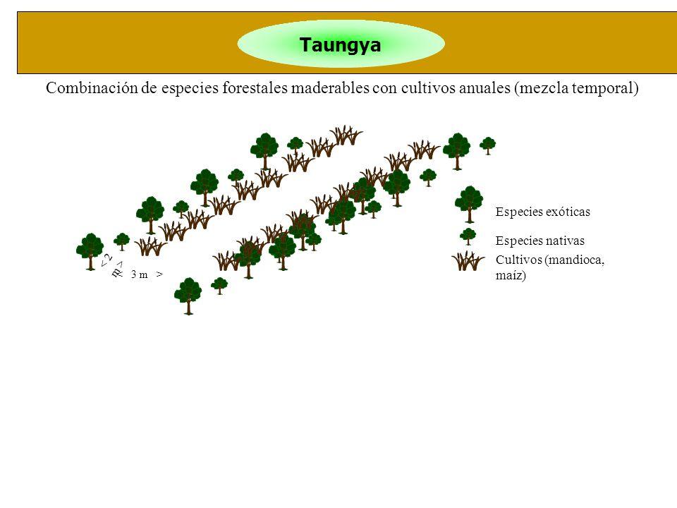 Taungya Especies exóticas Especies nativas Cultivos (mandioca, maíz) Combinación de especies forestales maderables con cultivos anuales (mezcla tempor