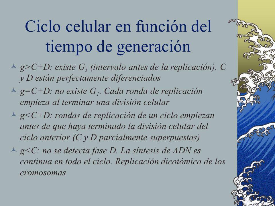 Ciclo celular en función del tiempo de generación g>C+D: existe G 1 (intervalo antes de la replicación). C y D están perfectamente diferenciados g=C+D