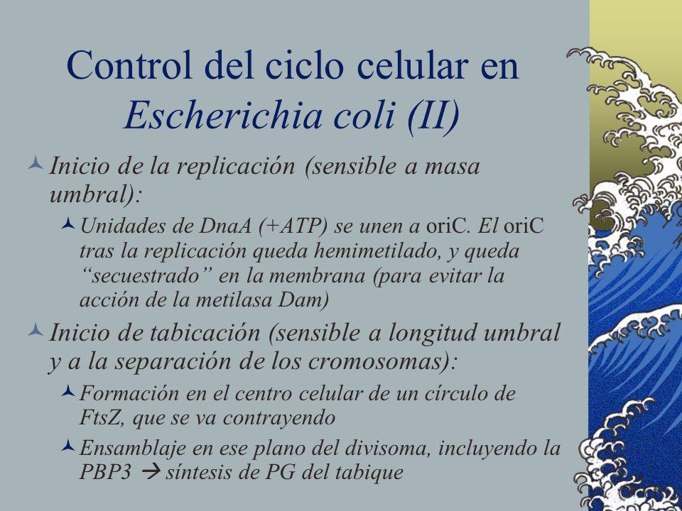 Control del ciclo celular en Escherichia coli (II) Inicio de la replicación (sensible a masa umbral): Unidades de DnaA (+ATP) se unen a oriC. El oriC