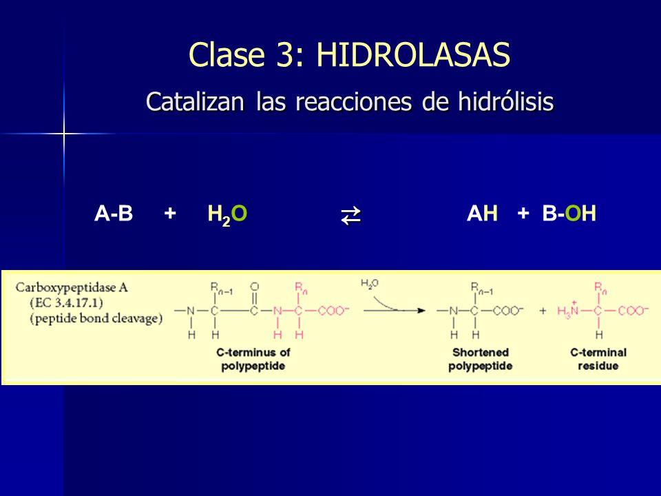 Catalizan las reacciones de hidrólisis Clase 3: HIDROLASAS Catalizan las reacciones de hidrólisis A-B + H 2 O AH + B-OH