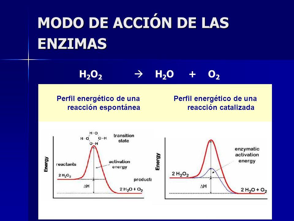 MODO DE ACCIÓN DE LAS ENZIMAS Perfil energético de una reacción espontánea Perfil energético de una reacción catalizada H 2 O 2 H 2 O + O 2