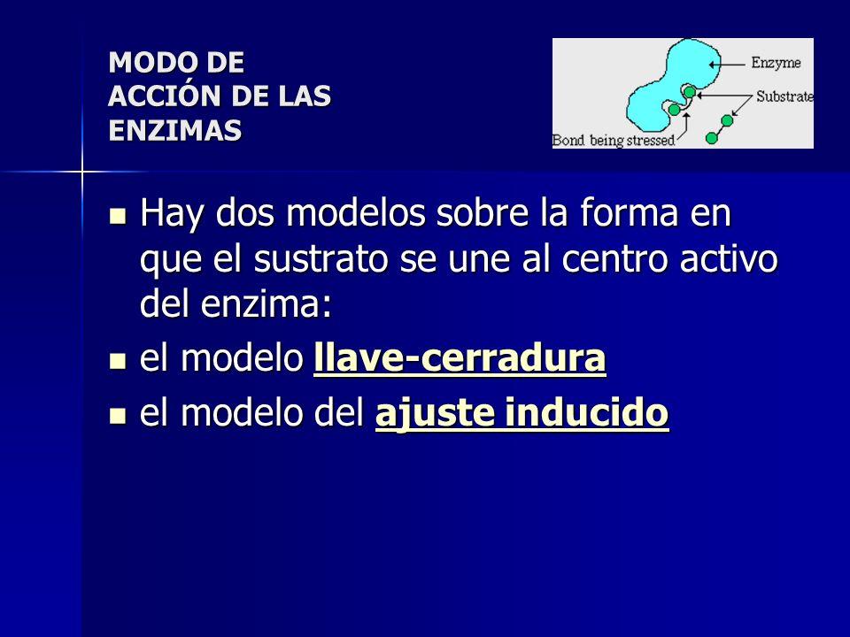 Hay dos modelos sobre la forma en que el sustrato se une al centro activo del enzima: Hay dos modelos sobre la forma en que el sustrato se une al cent