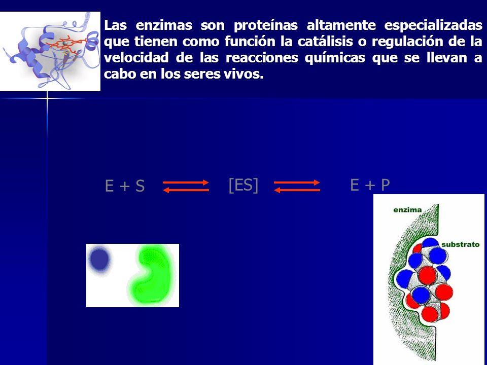 Las enzimas son proteínas altamente especializadas que tienen como función la catálisis o regulación de la velocidad de las reacciones químicas que se