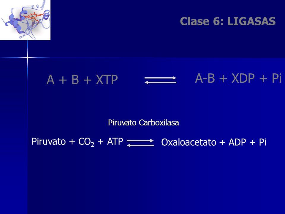 Clase 6: LIGASAS A-B + XDP + Pi A + B + XTP Oxaloacetato + ADP + Pi Piruvato + CO 2 + ATP Piruvato Carboxilasa