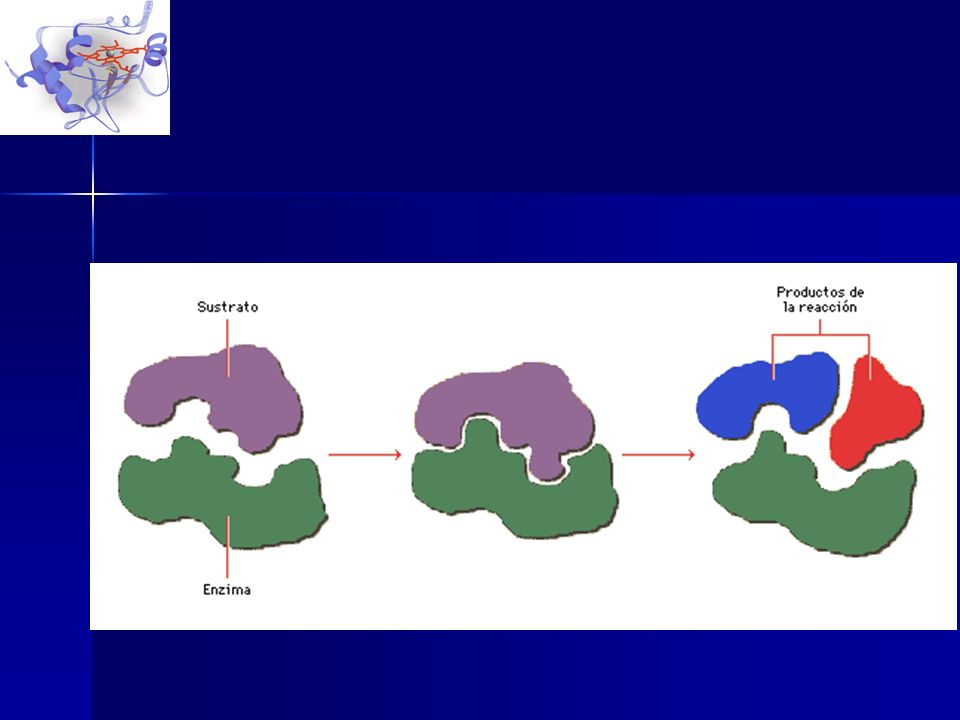 Aspectos generales de las enzimas Las enzimas son catalizadores específicos: cada enzima cataliza un solo tipo de reacción, y casi siempre actúa sobre Las enzimas son catalizadores específicos: cada enzima cataliza un solo tipo de reacción, y casi siempre actúa sobre –un único sustrato o –un grupo muy reducido de ellos.