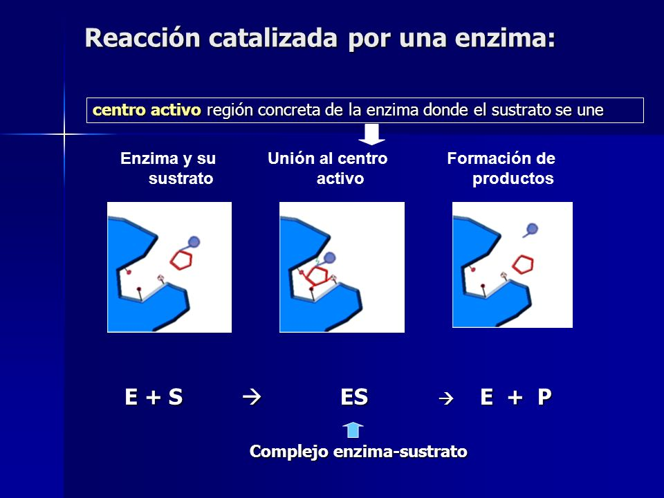 Enzima y su sustrato Unión al centro activo Formación de productos E + S ES E + P Complejo enzima-sustrato Reacción catalizada por una enzima: centro