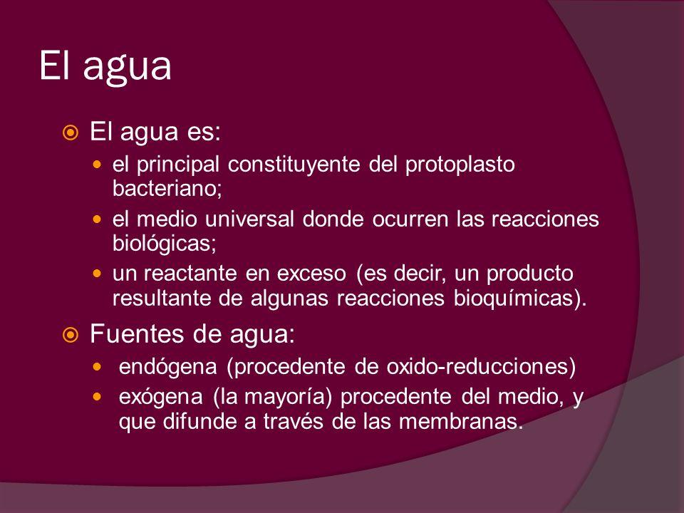 El agua El agua es: el principal constituyente del protoplasto bacteriano; el medio universal donde ocurren las reacciones biológicas; un reactante en