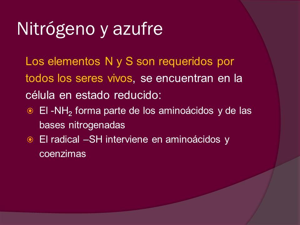 Nitrógeno y azufre Los elementos N y S son requeridos por todos los seres vivos, se encuentran en la célula en estado reducido: El -NH 2 forma parte d