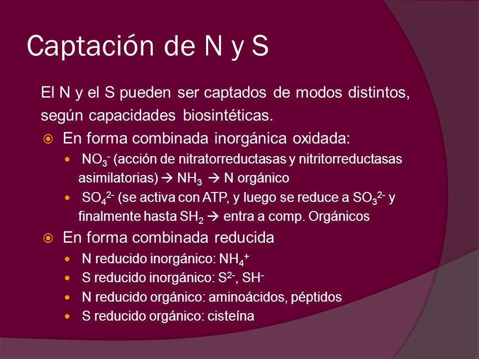 Captación de N y S El N y el S pueden ser captados de modos distintos, según capacidades biosintéticas. En forma combinada inorgánica oxidada: NO 3 -