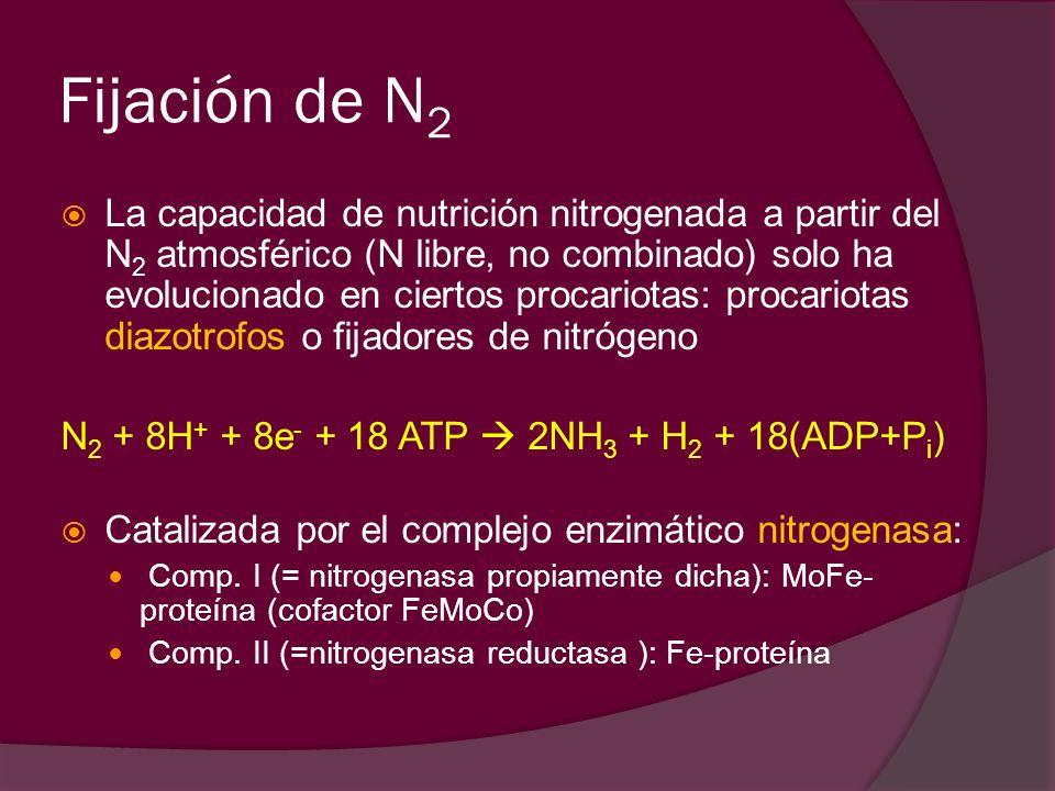 Fijación de N 2 La capacidad de nutrición nitrogenada a partir del N 2 atmosférico (N libre, no combinado) solo ha evolucionado en ciertos procariotas