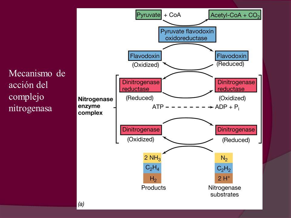 Mecanismo de acción del complejo nitrogenasa