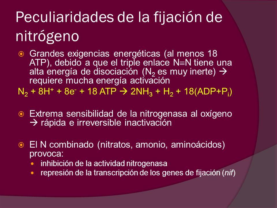 Peculiaridades de la fijación de nitrógeno Grandes exigencias energéticas (al menos 18 ATP), debido a que el triple enlace N N tiene una alta energía