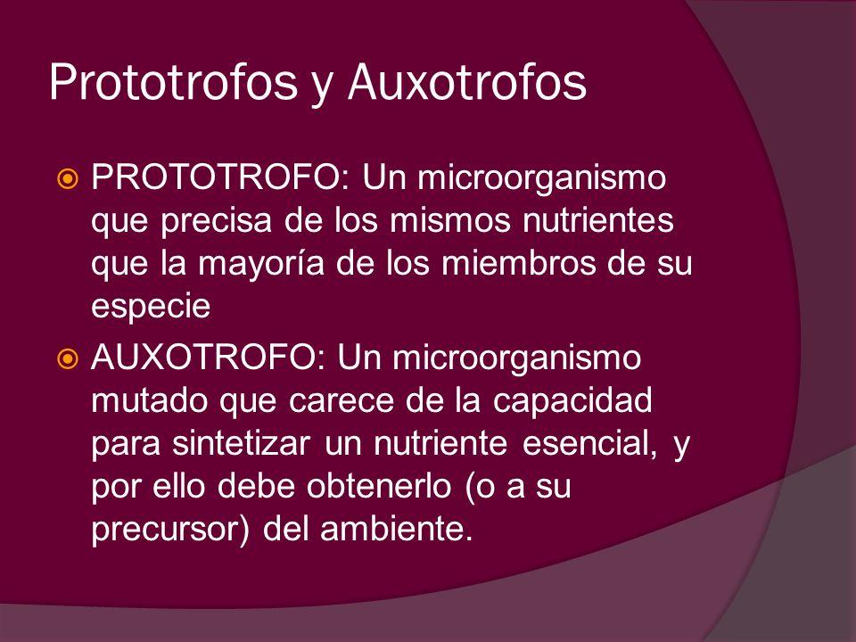 Prototrofos y Auxotrofos PROTOTROFO: Un microorganismo que precisa de los mismos nutrientes que la mayoría de los miembros de su especie AUXOTROFO: Un