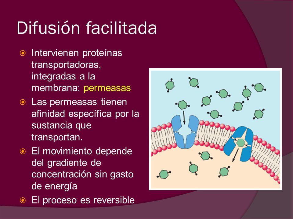 Difusión facilitada Intervienen proteínas transportadoras, integradas a la membrana: permeasas Las permeasas tienen afinidad específica por la sustanc