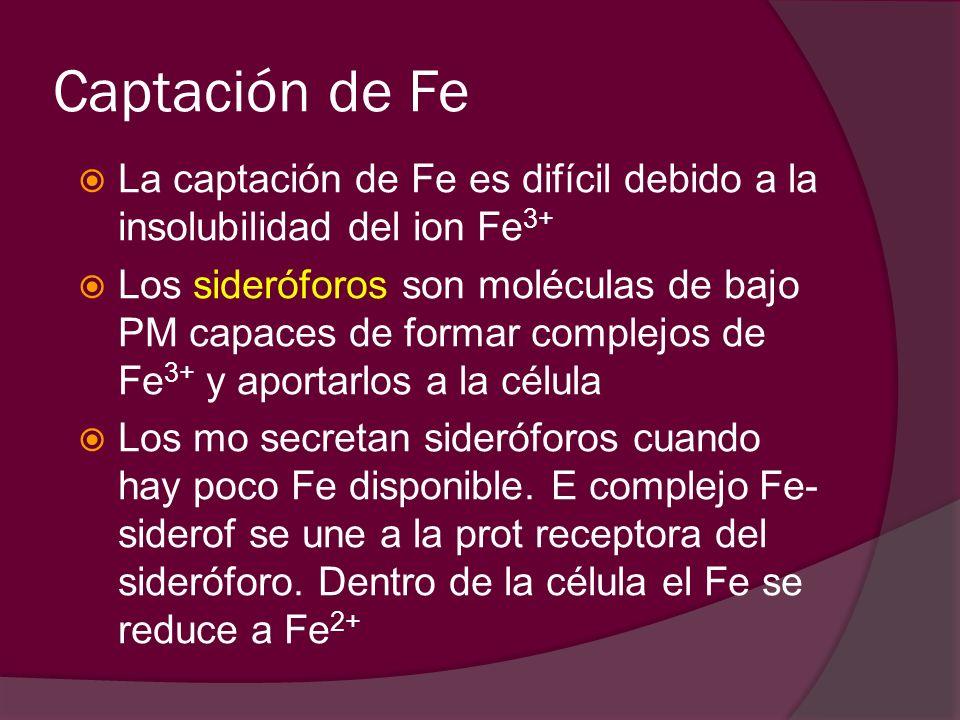 Captación de Fe La captación de Fe es difícil debido a la insolubilidad del ion Fe 3+ Los sideróforos son moléculas de bajo PM capaces de formar compl