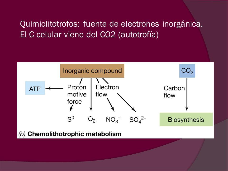 Quimiolitotrofos: fuente de electrones inorgánica. El C celular viene del CO2 (autotrofía)