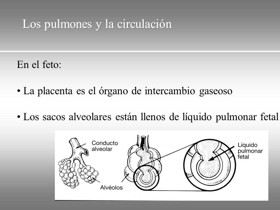 En el feto: La placenta es el órgano de intercambio gaseoso Los sacos alveolares están llenos de líquido pulmonar fetal