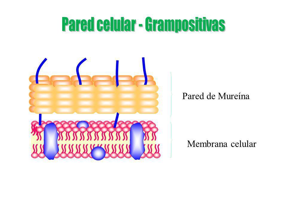 Membrana celular Pared de Mureína