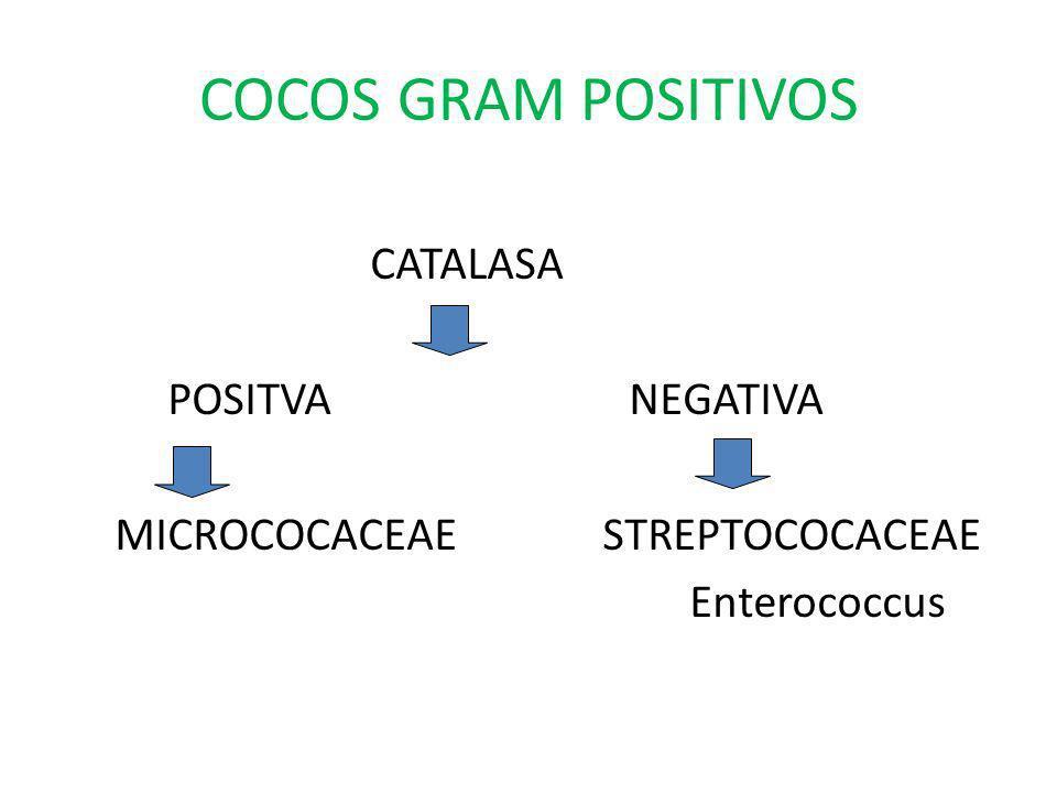 COCOS GRAM POSITIVOS CATALASA POSITVA NEGATIVA MICROCOCACEAE STREPTOCOCACEAE Enterococcus