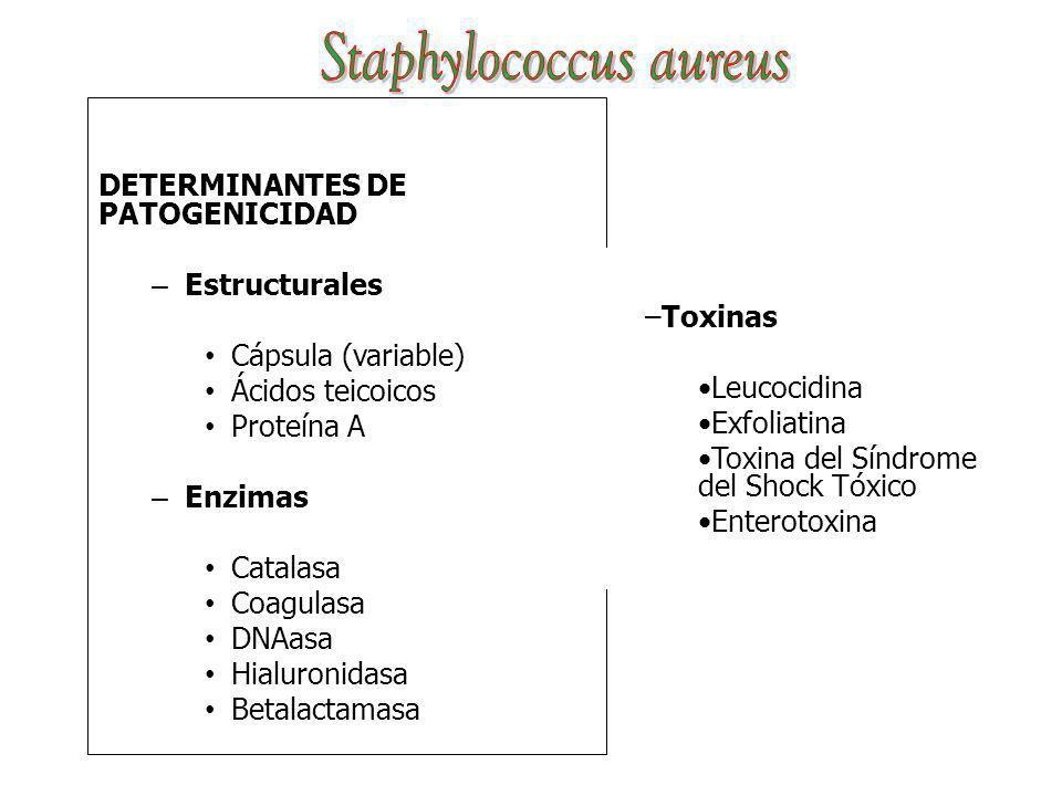 DETERMINANTES DE PATOGENICIDAD – Estructurales Cápsula (variable) Ácidos teicoicos Proteína A – Enzimas Catalasa Coagulasa DNAasa Hialuronidasa Betala