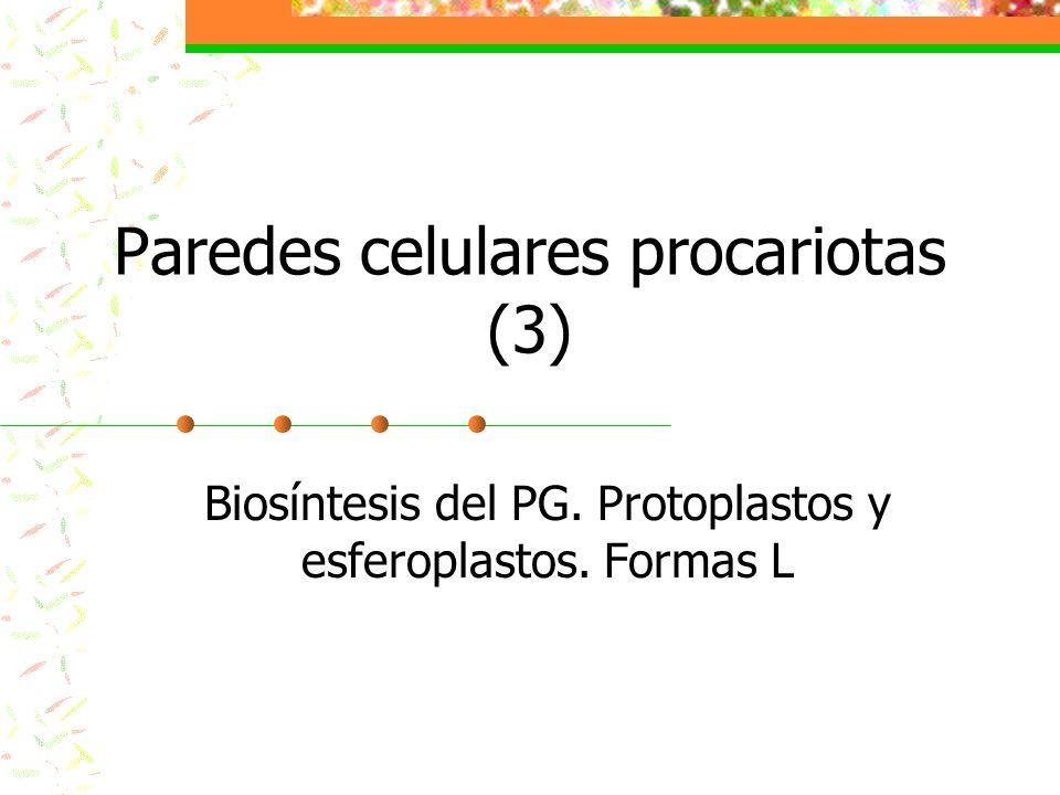 Métodos de obtención de protoplastos y esferoplastos Por destrucción del PG con lisozima o peptidasas En Gram-negativas hay que desorganizar antes la membrana externa con el agente quelante EDTA (secuestra cationes) Por inhibición de la formación de nuevo PG en células en crecimiento Ej.: tratando las células con penicilina