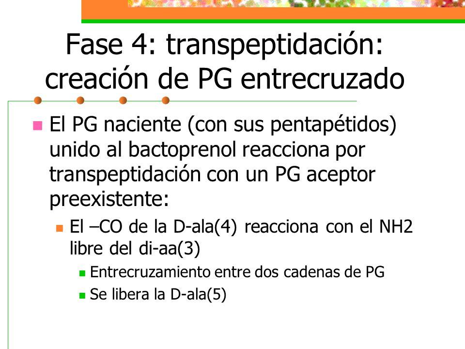 Fase 4: transpeptidación: creación de PG entrecruzado El PG naciente (con sus pentapétidos) unido al bactoprenol reacciona por transpeptidación con un