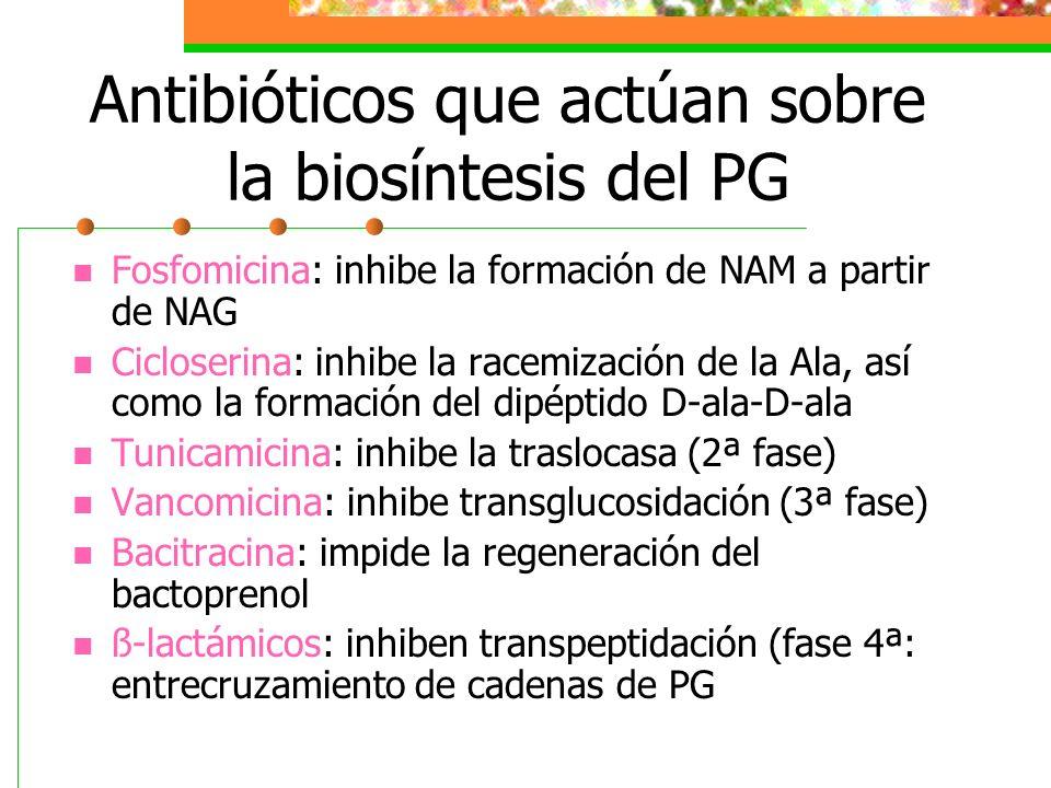 Antibióticos que actúan sobre la biosíntesis del PG Fosfomicina: inhibe la formación de NAM a partir de NAG Cicloserina: inhibe la racemización de la