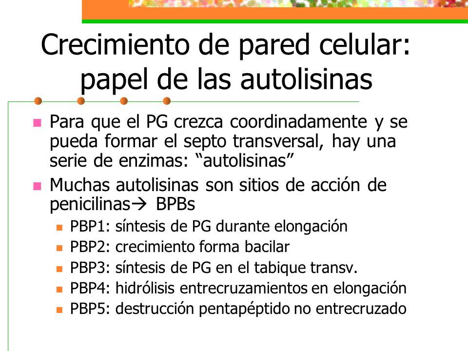 Crecimiento de pared celular: papel de las autolisinas Para que el PG crezca coordinadamente y se pueda formar el septo transversal, hay una serie de