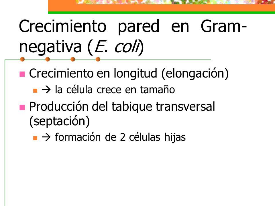 Crecimiento pared en Gram- negativa (E. coli) Crecimiento en longitud (elongación) la célula crece en tamaño Producción del tabique transversal (septa
