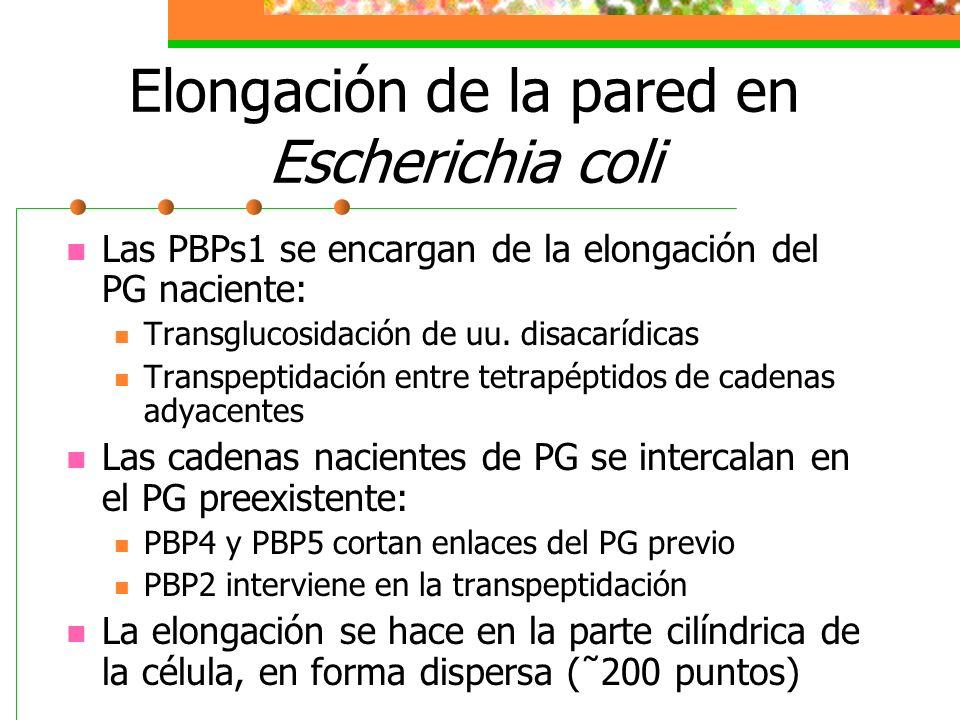Elongación de la pared en Escherichia coli Las PBPs1 se encargan de la elongación del PG naciente: Transglucosidación de uu. disacarídicas Transpeptid