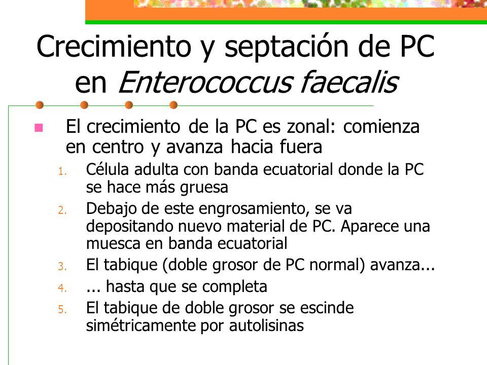 Crecimiento y septación de PC en Enterococcus faecalis El crecimiento de la PC es zonal: comienza en centro y avanza hacia fuera 1. Célula adulta con