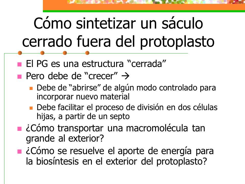 Cómo sintetizar un sáculo cerrado fuera del protoplasto El PG es una estructura cerrada Pero debe de crecer Debe de abrirse de algún modo controlado p