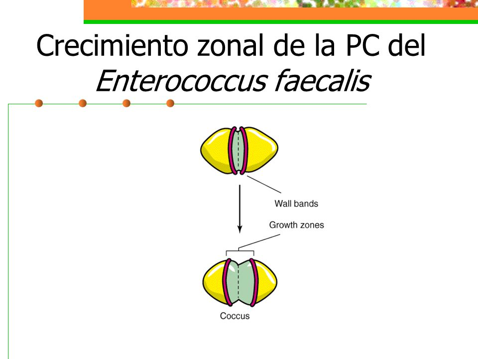 Crecimiento zonal de la PC del Enterococcus faecalis