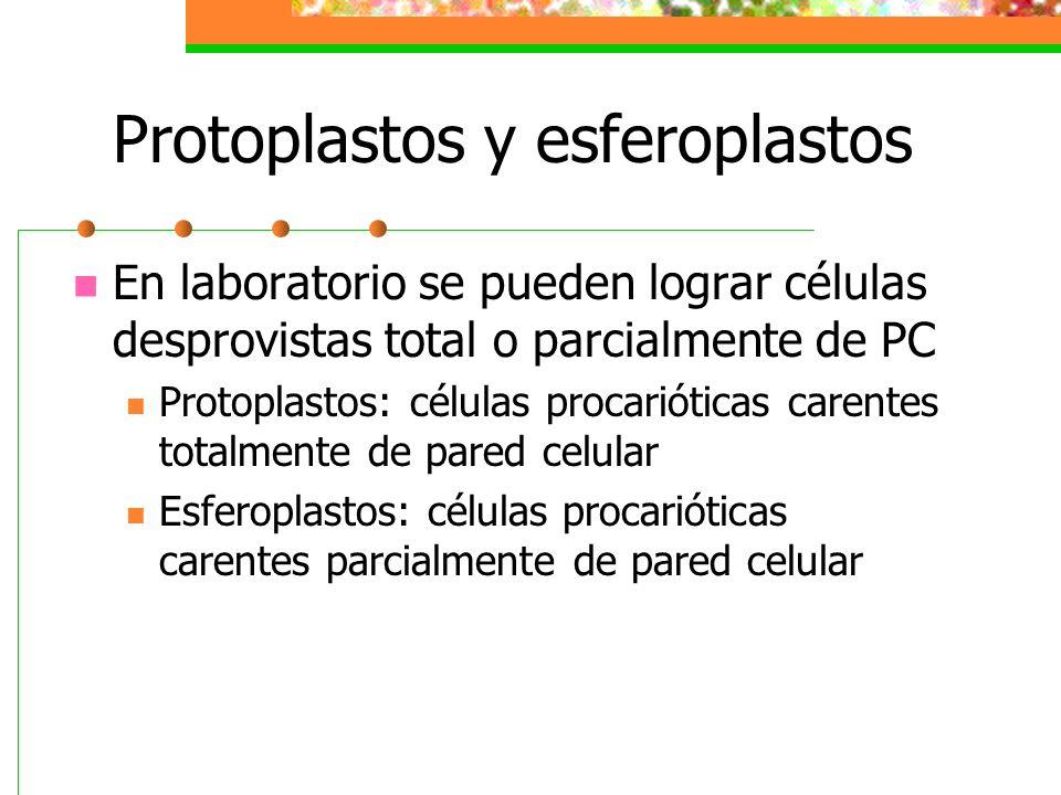 Protoplastos y esferoplastos En laboratorio se pueden lograr células desprovistas total o parcialmente de PC Protoplastos: células procarióticas caren