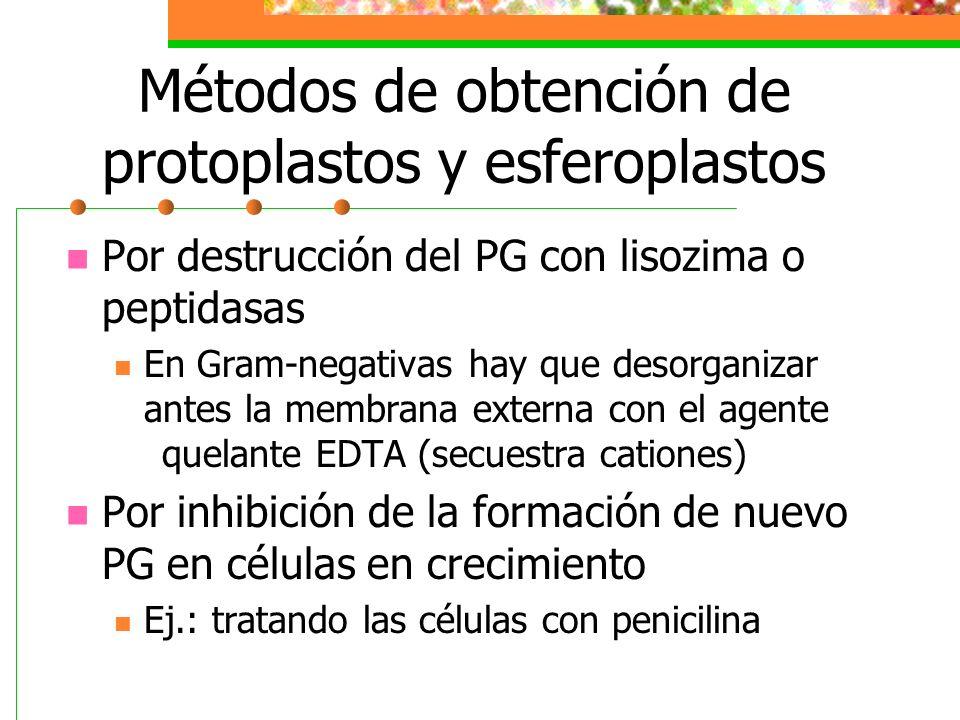 Métodos de obtención de protoplastos y esferoplastos Por destrucción del PG con lisozima o peptidasas En Gram-negativas hay que desorganizar antes la