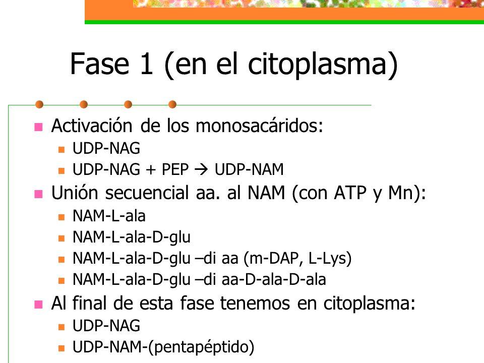 Fase 1 (en el citoplasma) Activación de los monosacáridos: UDP-NAG UDP-NAG + PEP UDP-NAM Unión secuencial aa. al NAM (con ATP y Mn): NAM-L-ala NAM-L-a
